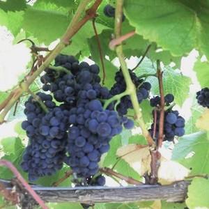 Mt Moriac Wines