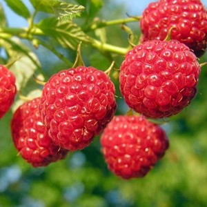 Penny Royal Berry farm
